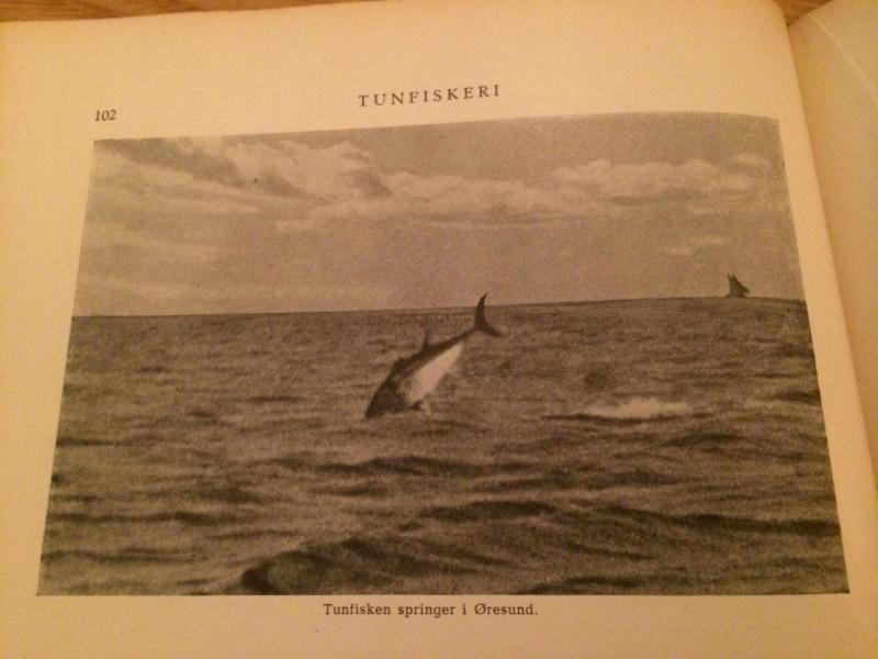 Jumping tuna from Øresund.