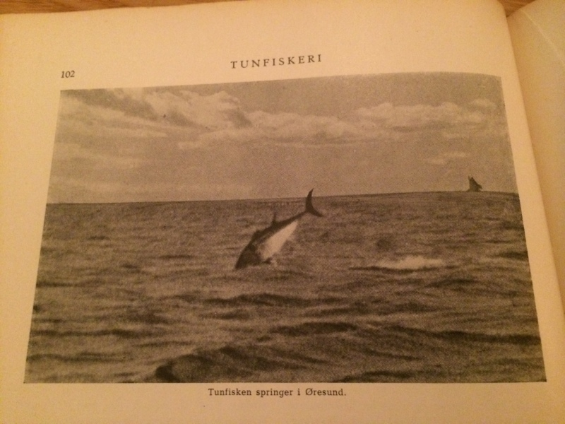 Jumping tuna from Øresund.