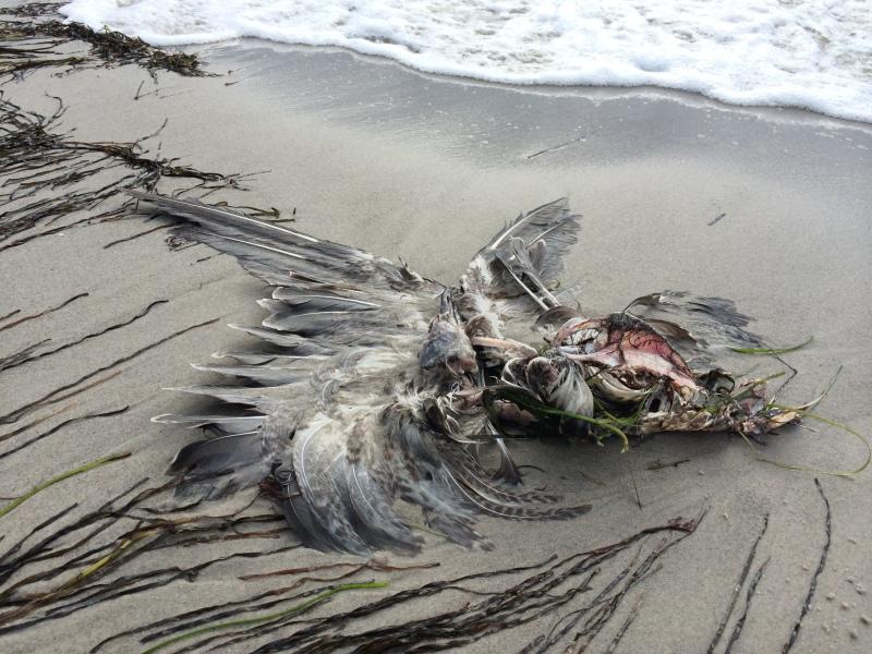 Dead seagull - it didn´t taste that good