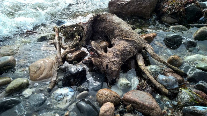 Dead Bambi on the coast